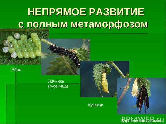 НЕПРЯМОЕ РАЗВИТИЕ с полным метаморфозом Яйцо Личинка (гусеница) Куколка Взрослое насекомое
