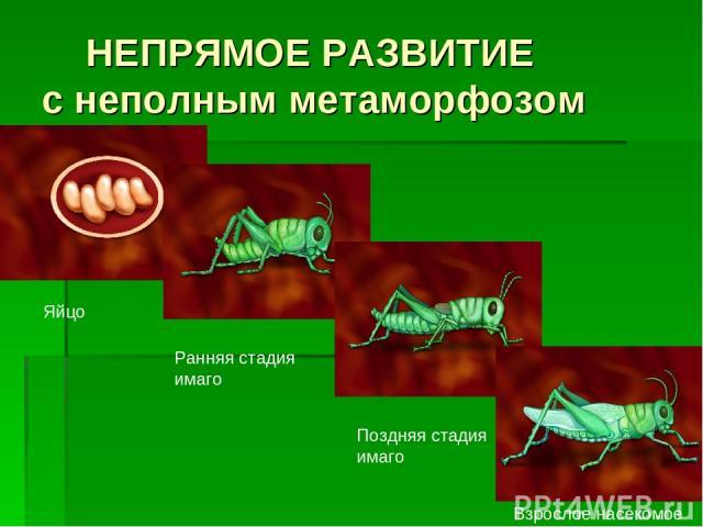 НЕПРЯМОЕ РАЗВИТИЕ с неполным метаморфозом Яйцо Ранняя стадия имаго Поздняя стадия имаго Взрослое насекомое