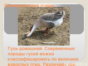 Одомашненные птицы Гусь домашний. Современные породы гусей можно классифицироват