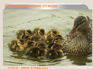 Одомашненные птицы Утка домашняя ведёт своё начало от обыкновенной дикой утки, и