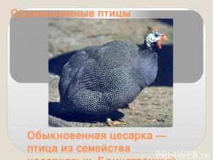 Одомашненные птицы Обыкновенная цесарка — птица из семейства цесарковых. Единств
