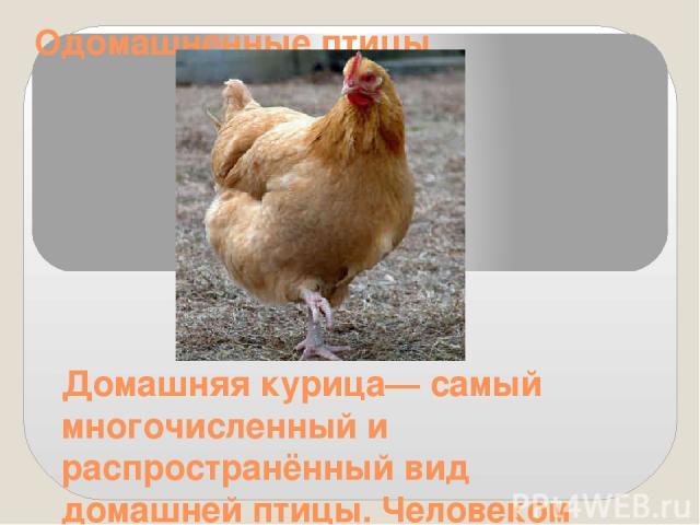 Одомашненные птицы Домашняя курица— самый многочисленный и распространённый вид домашней птицы. Человеком выведено большое количество разнообразных пород кур. Разводят их ради мяса и яиц, кроме того, от них получают перо и пух.