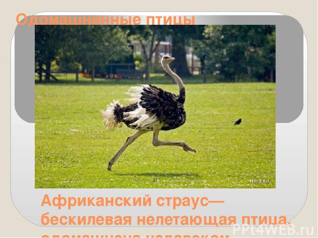 Одомашненные птицы Африканский страус— бескилевая нелетающая птица, одомашнена человеком