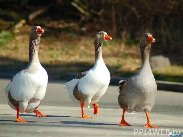 Одомашненные птицы Гусь домашний. Современные породы гусей можно классифицировать по величине взрослых птиц. Различают три класса пород: крупные (тяжеловесные), средние и мелкие.
