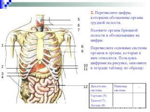 1 2 4 3 5 6 7 8 9 10 11 12 2. Перечислите цифры, которыми обозначены органы груд