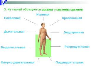 3. Из тканей образуются органы и системы органов Покровная Опорно-двигательная К