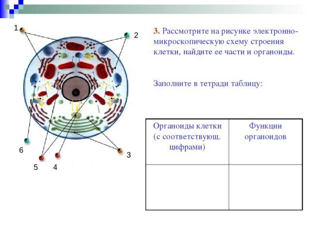 3 1 2 4 5 6 3. Рассмотрите на рисунке электронно-микроскопическую схему строения клетки, найдите ее части и органоиды. Заполните в тетради таблицу: Органоиды клетки (с соответствующ. цифрами) Функции органоидов