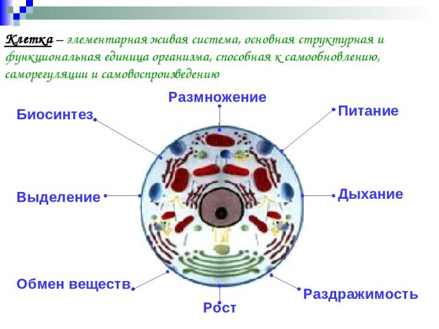 Клетка – элементарная живая система, основная структурная и функциональная единица организма, способная к самообновлению, саморегуляции и самовоспроизведению Биосинтез Обмен веществ Размножение Выделение Раздражимость Питание Дыхание Рост