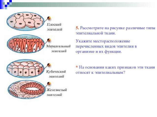 5. Рассмотрите на рисунке различные типы эпителиальной ткани. Укажите месторасположение перечисленных видов эпителия в организме и их функции. * На основании каких признаков эти ткани относят к эпителиальным?