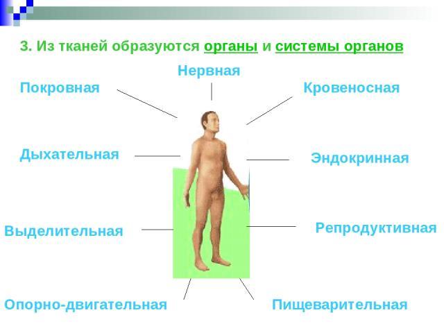 3. Из тканей образуются органы и системы органов Покровная Опорно-двигательная Кровеносная Дыхательная Пищеварительная Репродуктивная Выделительная Нервная Эндокринная