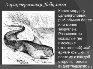 Характеристика Подкласса Конец морды у цельноголовых рыб обычно более или менее