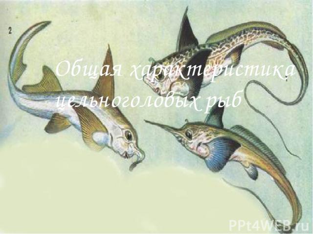 Общая характеристика цельноголовых рыб