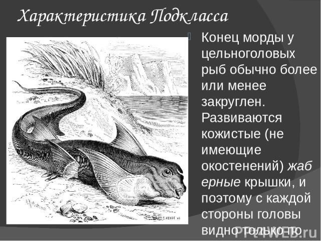 Характеристика Подкласса Конец морды у цельноголовых рыб обычно более или менее закруглен. Развиваются кожистые (не имеющие окостенений)жаберныекрышки, и поэтому с каждой стороны головы видно только по одному жаберному отверстию. Брызгальце отсутс…