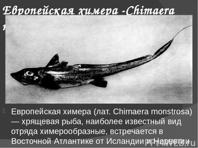 Европейская химера -Chimaera monstrosa Европейская химера (лат. Chimaera monstrosa) — хрящевая рыба, наиболее известный вид отряда химерообразные, встречается в Восточной Атлантике от Исландии и Норвегии до Средиземного моря и у побережья Южной Афри…