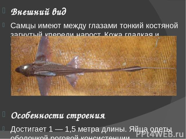 Внешний вид Самцы имеют между глазами тонкий костяной загнутый кпереди нарост. Кожа гладкая и отливает разнообразными цветами. Особенности строения Достигает 1 — 1,5 метра длины. Яйца одеты оболочкой роговой консистенции.