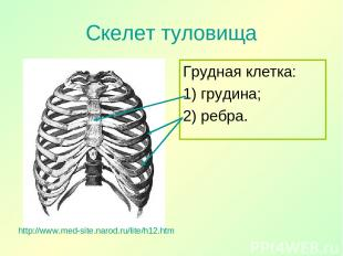Скелет туловища Грудная клетка: 1) грудина; 2) ребра. http://www.med-site.narod.