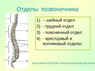 Отделы позвоночника http://xreferat.ru/55/2135-1-pozvonochnyiy-stolb-ego-stroeni