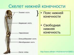 Скелет нижней конечности http://www.otfintes.info/interesnoe/3993-skelet-nizhnej
