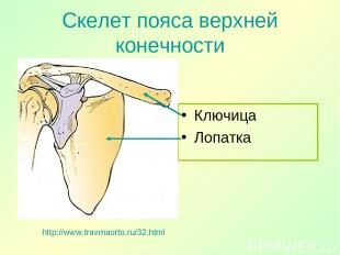 Скелет пояса верхней конечности Ключица Лопатка http://www.travmaorto.ru/32.html