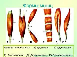 Формы мышц http://meduniver.com/Medical/Anatom/86.html А) Веретенообразная Б) Дв