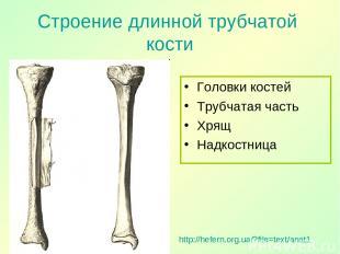 Строение длинной трубчатой кости Головки костей Трубчатая часть Хрящ Надкостница