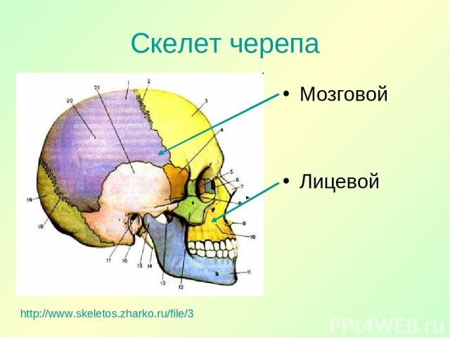 Скелет черепа http://www.skeletos.zharko.ru/file/3 Мозговой Лицевой