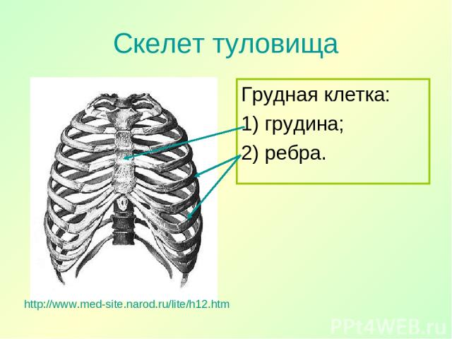 Скелет туловища Грудная клетка: 1) грудина; 2) ребра. http://www.med-site.narod.ru/lite/h12.htm