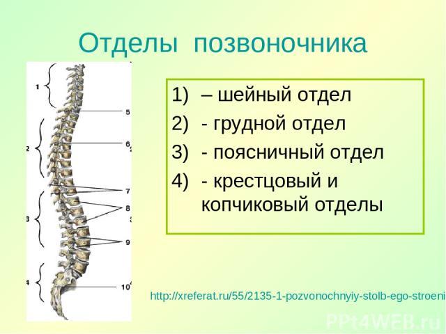 Отделы позвоночника http://xreferat.ru/55/2135-1-pozvonochnyiy-stolb-ego-stroenie.html – шейный отдел - грудной отдел - поясничный отдел - крестцовый и копчиковый отделы