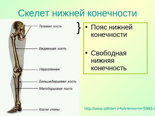 Скелет нижней конечности http://www.otfintes.info/interesnoe/3993-skelet-nizhnejj-konechnosti.html Пояс нижней конечности Свободная нижняя конечность }
