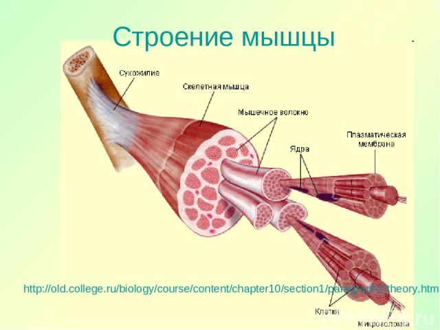Строение мышцы http://old.college.ru/biology/course/content/chapter10/section1/paragraph2/theory.html