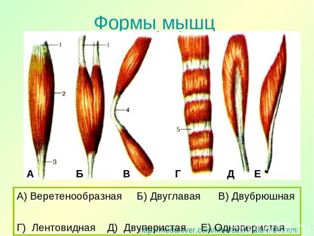 Формы мышц http://meduniver.com/Medical/Anatom/86.html А) Веретенообразная Б) Двуглавая В) Двубрюшная Г) Лентовидная Д) Двуперистая Е) Одноперистая А Б В Г Д Е