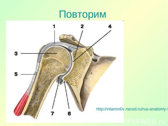 Повторим http://vitamin0v.narod.ru/rus-anatomy-skeleton-upper_extremity-11941.html