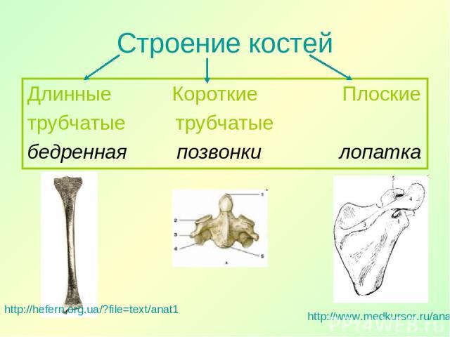 Строение костей Длинные Короткие Плоские трубчатые трубчатые бедренная позвонки лопатка http://hefern.org.ua/?file=text/anat1 http://www.medkursor.ru/anatomiya/skeleton/3319.html