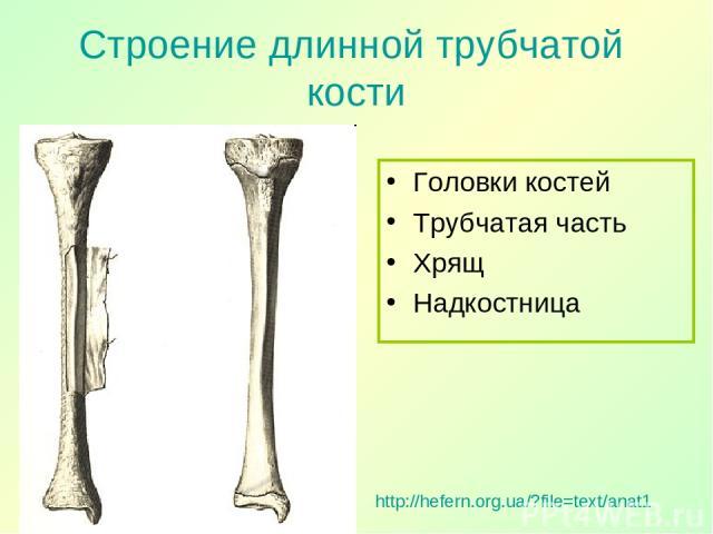 Строение длинной трубчатой кости Головки костей Трубчатая часть Хрящ Надкостница http://hefern.org.ua/?file=text/anat1