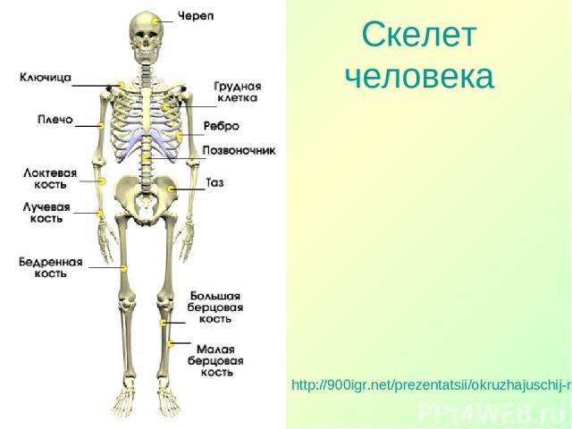http://900igr.net/prezentatsii/okruzhajuschij-mir/Telo-cheloveka/005-Skelet.html Скелет человека