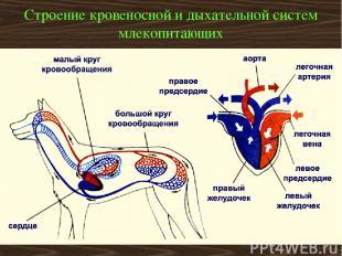 Строение кровеносной и дыхательной систем млекопитающих