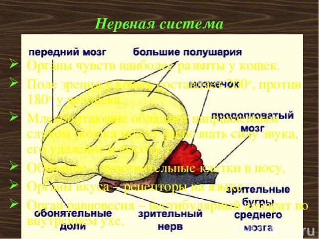 Нервная система Органы чувств наиболее развиты у кошек. Поле зрения у кошек составляет 200o, против 180o у человека. Млекопитающие обладают направленным слухом (кошка может распознать силу звука, его удаление и высоту ) Обоняние – чувствительные кле…
