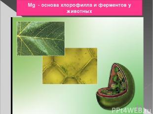 Mg - основа хлорофилла и ферментов у животных