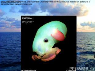 """Это ребристый осьминог, или """"Dumbos"""", потому что его плавники как воротник арлек"""
