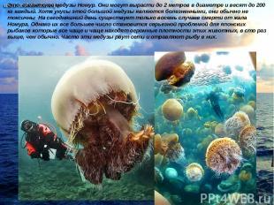 Это гигантские медузы Номур. Они могут вырасти до 2 метров в диаметре и весят до