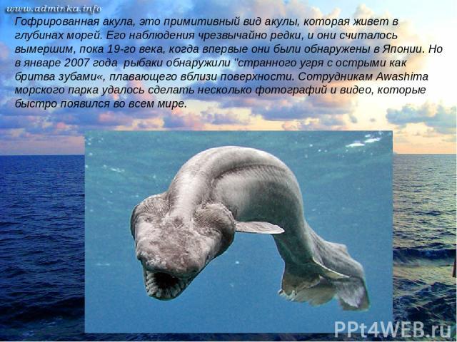 Гофрированная акула, это примитивный вид акулы, которая живет в глубинах морей. Его наблюдения чрезвычайно редки, и они считалось вымершим, пока 19-го века, когда впервые они были обнаружены в Японии. Но в январе 2007 года рыбаки обнаружили