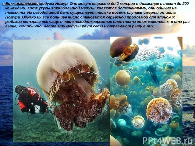Это гигантские медузы Номур. Они могут вырасти до 2 метров в диаметре и весят до 200 кг каждый. Хотя укусы этой большой медузы являются болезненными, они обычно не токсичны На сегодняшний день существует только восемь случаев смерти от жала Номура. …
