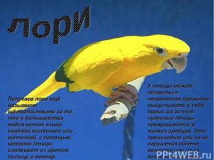 Попугаев лори ещё называют щёткоязычными за то, что у большинства видов кончик я