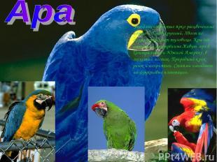 Это длиннохвостые ярко расцвеченные попугаи. Клюв крупный, Хвост по длине превыш