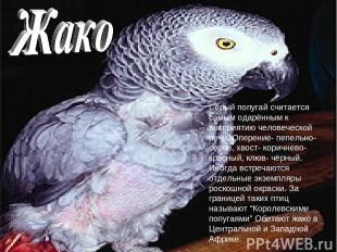 Серый попугай считается самым одарённым к восприятию человеческой речи. Оперение