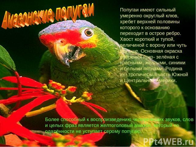 Попугаи имеют сильный умеренно округлый клюв, хребет верхней половины которого к основанию переходит в острое ребро. Хвост короткий и тупой, величиной с ворону или чуть меньше. Основная окраска оперения ярко- зелёная с красными, жёлтыми, синими и бе…