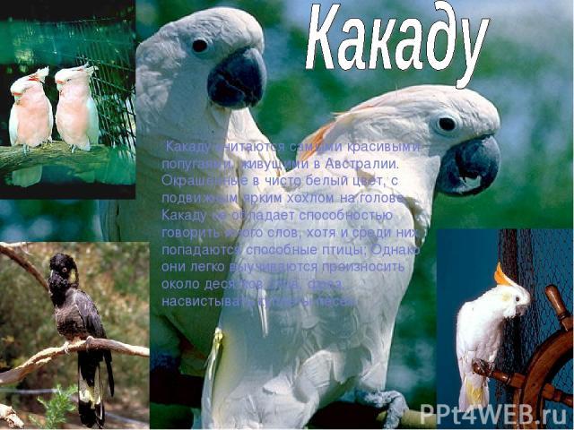 Какаду считаются самыми красивыми попугаями, живущими в Австралии. Окрашенные в чисто белый цвет, с подвижным ярким хохлом на голове. Какаду не обладает способностью говорить много слов, хотя и среди них попадаются способные птицы; Однако они легко …