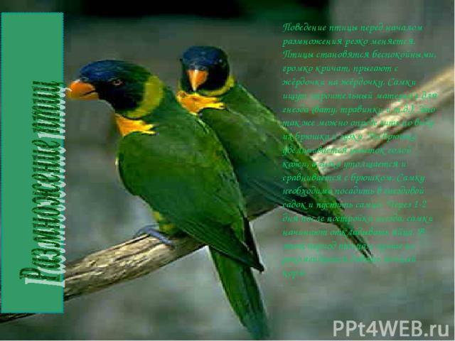 Поведение птицы перед началом размножения резко меняется. Птицы становятся беспокойными, громко кричат, прыгают с жёрдочки на жёрдочку. Самки ищут строительный материал для гнезда (вату, травинки и т.д.). Это так же можно определить по виду их брюшк…