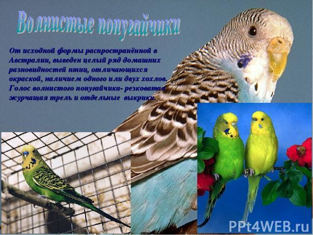 От исходной формы распространённой в Австралии, выведен целый ряд домашних разновидностей птиц, отличающихся окраской, наличием одного или двух хохлов. Голос волнистого попугайчика- резковатая журчащая трель и отдельные выкрики.