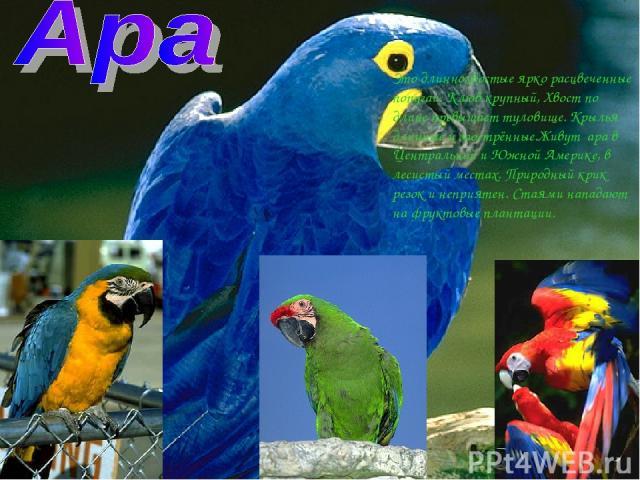 Это длиннохвостые ярко расцвеченные попугаи. Клюв крупный, Хвост по длине превышает туловище. Крылья длинные и заострённые.Живут ара в Центральной и Южной Америке, в лесистый местах. Природный крик резок и неприятен. Стаями нападают на фруктовые пла…